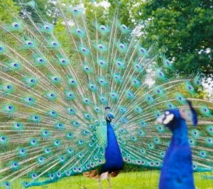 peacocks by tina phillips